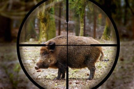 caccia-al-cinghiale