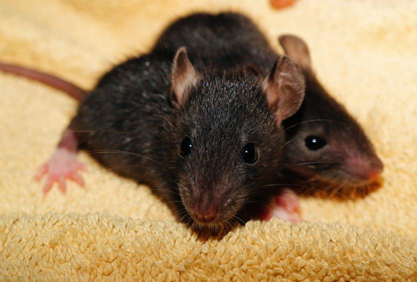 Bimba di 2 anni trova topo morto in un calendario dell'avvento