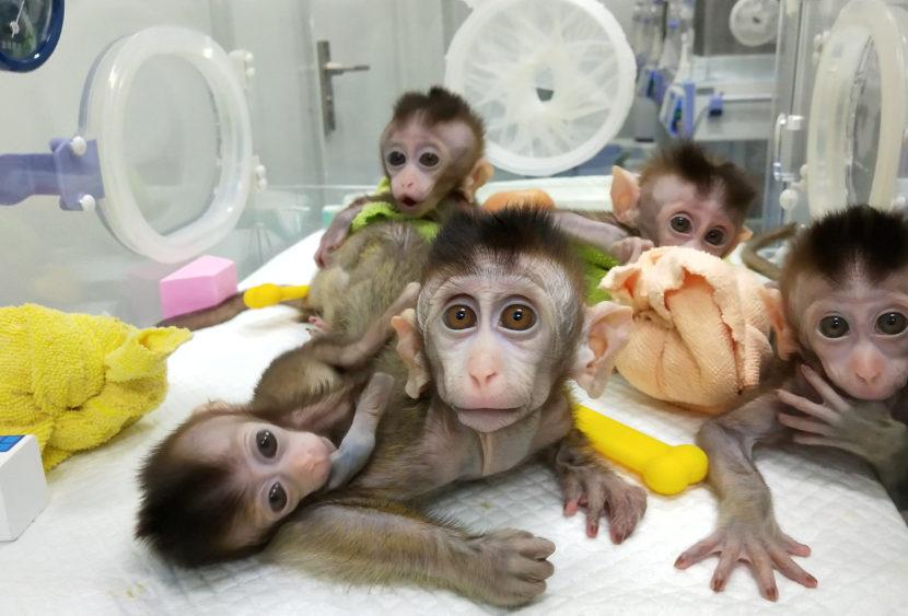 Cina, clonate cinque scimmie insonni. Le associazioni animaliste schierate: «Inutile sofferenza»