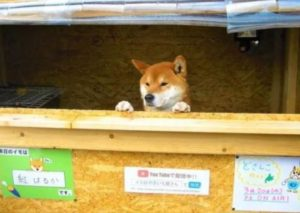 Volete conoscere Ken-Kun, il cagnolino venditore di patate dolci in Giappone?