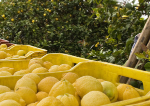 """Consorzio di tutela del """"limone di Siracusa Igp"""" al programma itinerante patrocinato dalla Regione Siciliana, sotto la direzione creativa di Dolce&Gabbana"""