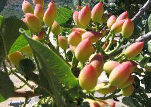 Adottare una pianta di pistacchio: ecco come salvaguardare l'oro siciliano