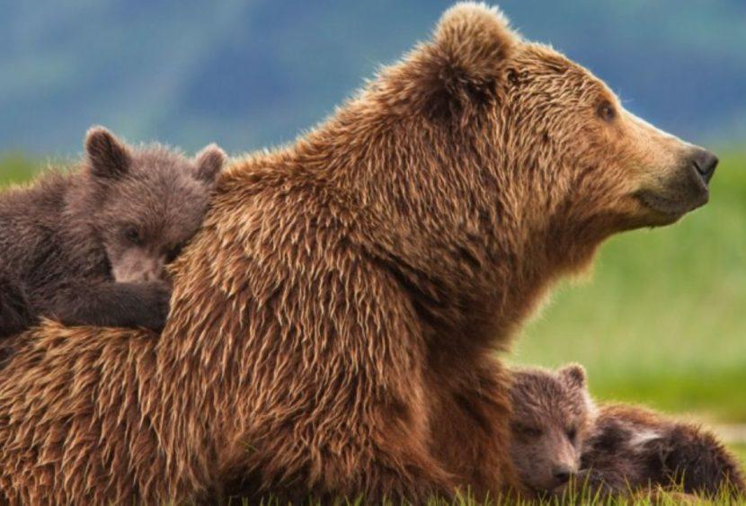 L'orsa JJ4 è libera: il Tar di Trento accoglie la richiesta del ministro Costa