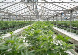 Acquistare legalmente semi di marijuana si può, ecco come